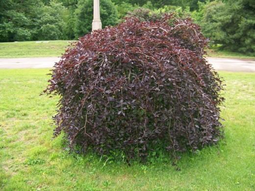 Beech Tree (Fagus sylvatica) Bud