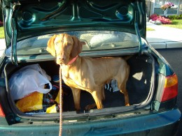 Jack in the trunk of the car. (Disclaimer: I do not actually make my dogs ride in the trunk of the car. I swear.)