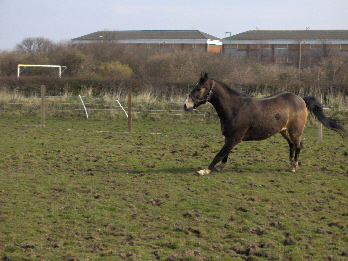 Rescue horse Comet runs in the fields at the Shy Lowen Horse and Pony Sanctuary in Liverpool