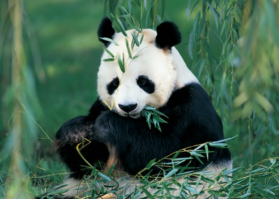 Google Panda eating Bamboo