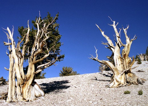Bristlecone pines.  These unprepossessing trees are among the longest-lived organisms on the planet; some individual trees are effectively as old as human civilization.  Image courtesy Jim Gordon and Wikimedia Commons.
