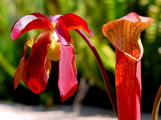 "Pitcher plants of the North American ""Sarrecenia"" genus.  Image courtesy Wikipedia."