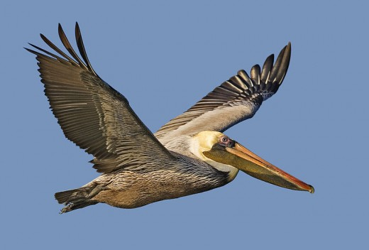 "Brown Pelican.  This majestic bird has already been hurt by climate change--at least in the short term.  Image courtesy Alan D. Wilson, ""Papalimatango"", and Wikimedia Commons."