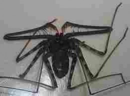 The Amblypygi (Known as a Whip Spider, but not a true spider)