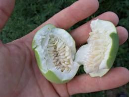 inside of seedpod