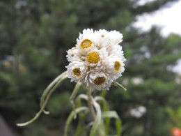 Pearly Everlasting...an interesting name