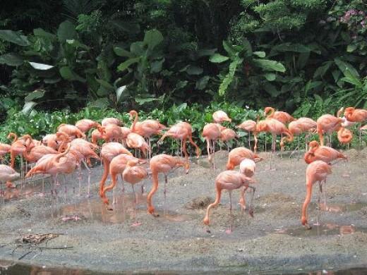 Flamingos at the Jurong Bird Park