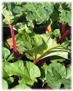 Tips On Growing Rhubarb In Plant Containers
