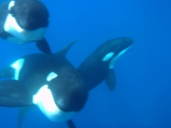 The Awesome Intelligence of Cetaceans Part 3 - Killer Whales