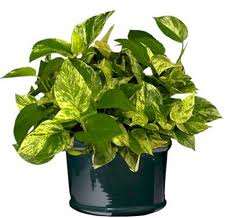Here's a house plant that is easy to care for.  Just keep it watered and pruned of any yellowing leaves!