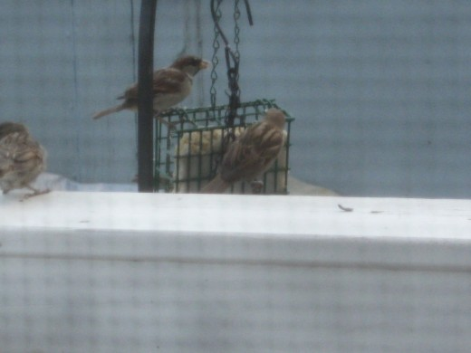 sparrows at suet feeder