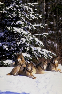 Gray Wolves who live in a forested area are often called Timber Wolves.