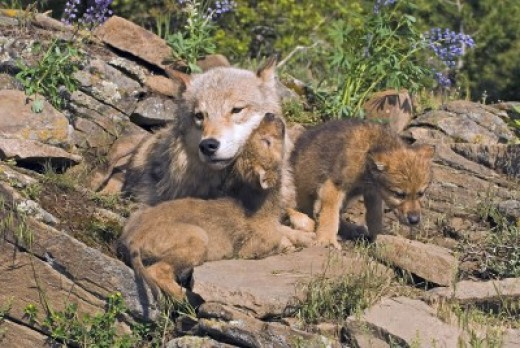 Gray wolves mother and her pups.
