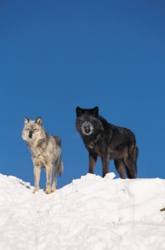 Black wolves are the same species as gray Wolves (Canis lupus).
