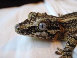 Geckos 101: Gargoyle Gecko Care