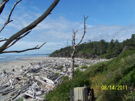 THE MANY YEARS OF PACIFIC STORMS PILED THESE TREES. BIG TREES, FOR MILES UP AND DOWN THESE BEACHES OVER THE YEARS