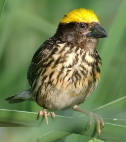Bird watch - The Baya Weaver Bird