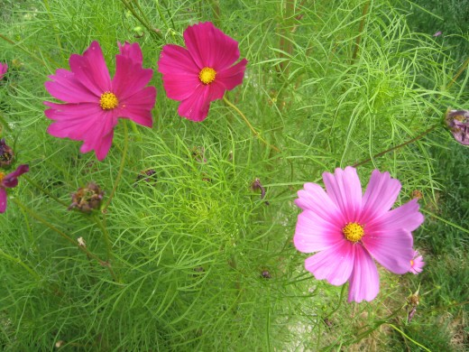 Close up of Cosmos