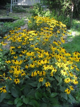 Black-eyed Susans continue to add color to the fall garden
