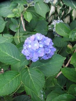 The new blue hydrangea