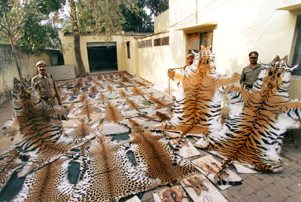 Tiger and leopard skin seized in Ghaziabad, Uttar Pradesh, India(Photo:  Jay Ulall (Stern / Black Star)