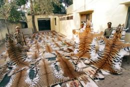 Tiger and leopard skin seized in Ghaziabad, Uttar Pradesh, India(Photo:  Jay Ulall (Stern / Black Star)