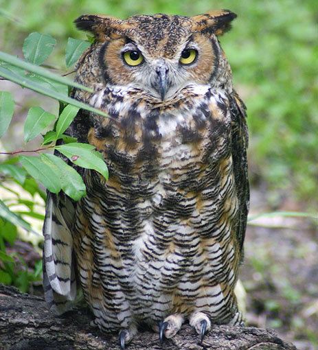 Florida Great Horned Owl