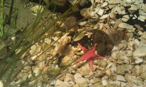 Starfish in the tidal pool of the sandy shoreline environment