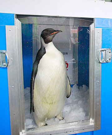 Happy Feet in his container