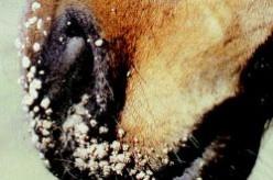 Equine Papillomavirus - Translation: Horse Warts