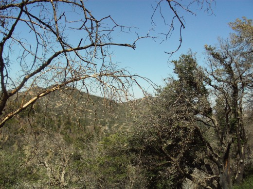 Another view of the mountains through the oak tree branches.