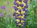 The Lupin - A Tall Perennial Plant