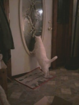 I noise when I want out! (Prince Fredward the white cat.)