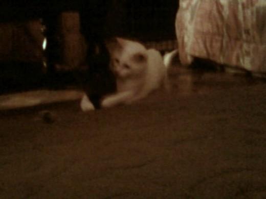I noise when I wanna stalk about! (Prince Fredward the white cat.)