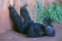 Chimpanzee - The World's Smartest Animal