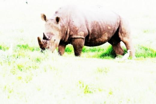 Rhinos are killed