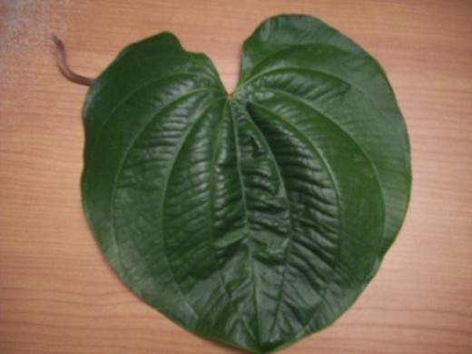 Elephant Ear - Free from Nature