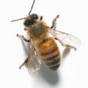 bee pollen dosage profile image