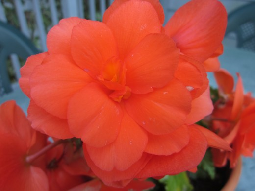 Tuberous Begonia Double Petaled Male Flower