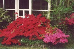 Azaleas come in many different colors.