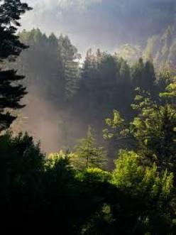 Fog covered Redwoods