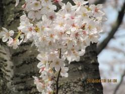 Sakura (Hope for Japan)