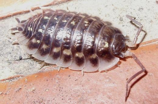 Wood louse