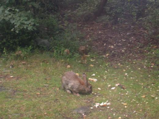 The rabbits were regular visitors.