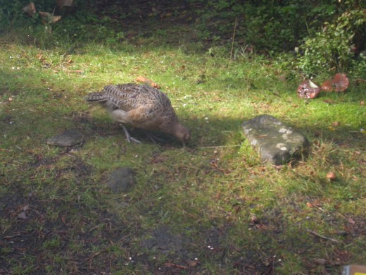 A female pheasant pecking at the bird food we put out.