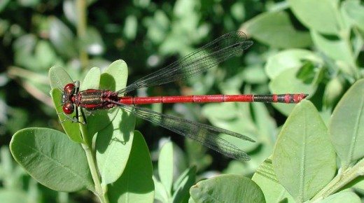 Europe's Large Red Damsel is one of the first to emerge each year.