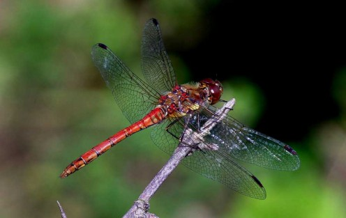 Europe's Vagrant Darter gets it name from occasionally showing up further north than its usual territory.