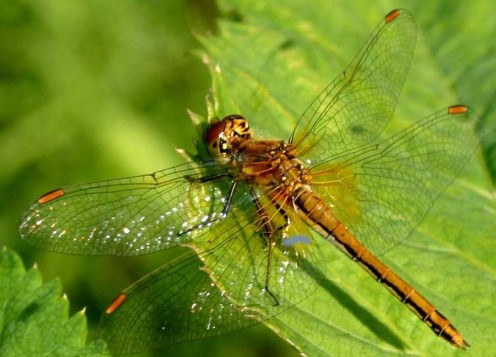 Primarily found in Europe and large parts of China, the Yellow-winged Darter, they also migrate to Great Britain every few years.
