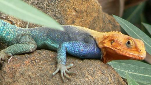 Kenyan Lizard