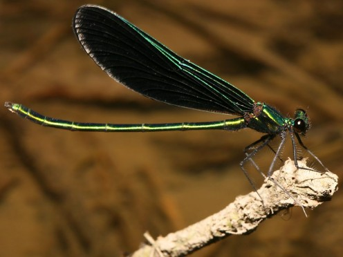 The Ebony Jewelwing is found in the northeastern U.S. and southeastern Canada.